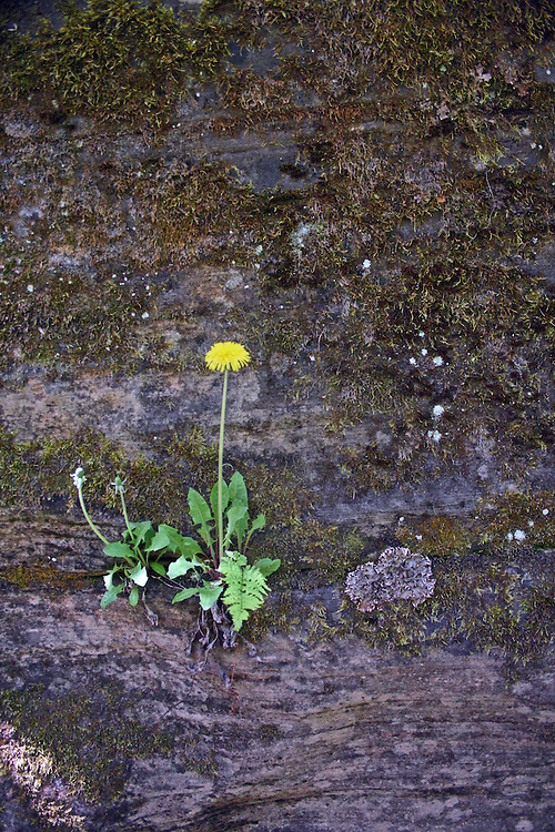 A small daisy clings to a moss covered cliff.