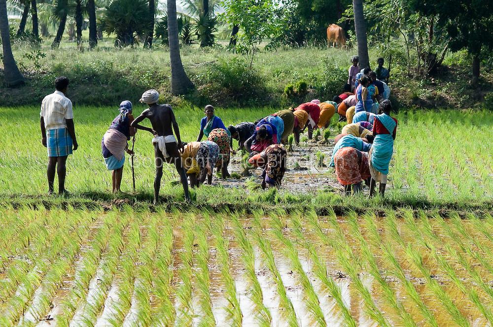 Rice planting season. Tamil Nadu.