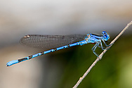 Vivid Dancer (Argia vivida) male<br /> CALIFORNIA: Inyo Co.<br /> Antelope Springs off Hwy 168; 15.5 mi NE of Big Pine<br /> 14.VI.2012<br /> J.C. Abbott #2602 &amp; K.K. Abbott
