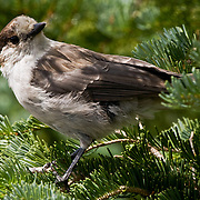 This robber jay (Perisoreus canadensis), also known as a Canada jay or gray jay was on the lookout for picnic scraps at a site west of Hurrican Ridge in the Olympic National Park on Washington's Olympic Peninsula