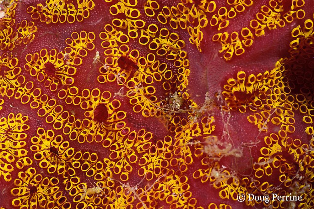magnificent ascidian, Botrylloides magnicoecum ( colonial tunicate ), Queensland, Australia