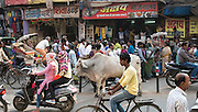 Constant stream of moving traffic around cow Varanasi, India