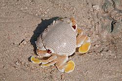 A small crab (Ashtoret lunaris) on a sandbank on Augustus Island.