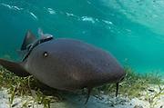 Nurse Shark (Ginglymostoma cirratum) &amp; Sharksucker (Echeneis naucrates)<br /> Marine Megafauna Research. Large marine fish, sharks, rays &amp; turtles.<br /> MAR Alliance<br /> Halfmoon Caye<br /> Lighthouse Reef Atoll<br /> Belize<br /> Central America