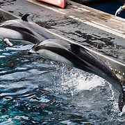 Pacific white-sided dolphins are found throughout the temperate waters of the North Pacific Ocean from Japan to North America, and from the coasts of Alaska down to Baja, Mexico. Photographed in the Vancouver Aquarium, 845 Avison Way, Vancouver, British Columbia, V6G 3E2 CANADA.