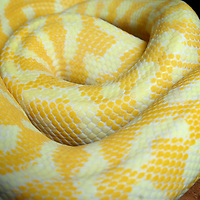 Albino Darwin Carpet Python (Morelia spilota variegata) close up