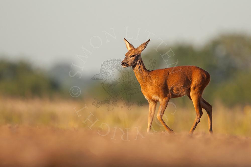 Western Roe Deer (Capreolus capreolus) adult female walking across a ploughed field, Norfolk, UK.