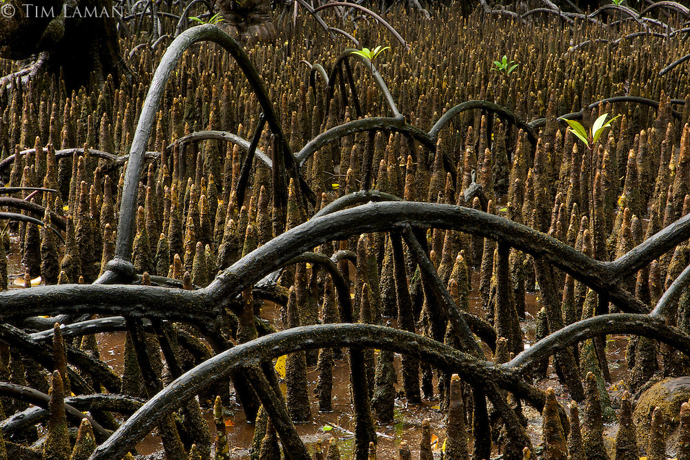 Arching roots of Rhizophora (Red mangrove) cross over the spike roots of Sonneratia mangroves.
