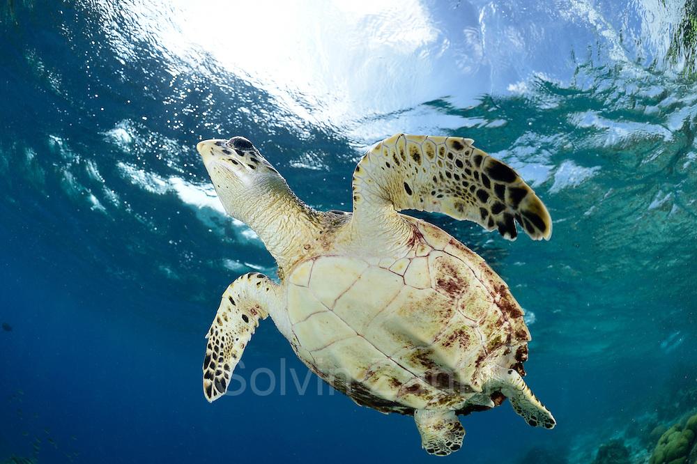 Hawksbill sea turtle (Eretmochelys imbricata) | Die Karettschildkröte (Eretmochelys imbricata) ist in den Korallenriffen der Karibik zu Hause. Dort lebt sie von Schwämmen und Anemonen, die sie in den Riffen um Bonaire reichlich findet.