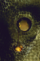 A blenny fish and a coral hermit crab peer out of holes in a coral.