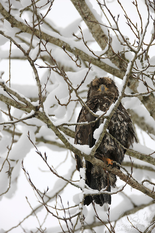 A juvenile bald eagle (Haliaeetus leucocephalus) looks for food from its snowy perch above the Cheakamus River near Brackendale, British Columbia, Canada.