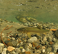 Dolly Varden (with Chum Salmon in background)<br />