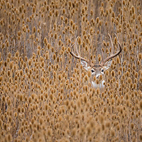 Whitetail buck in teasel during the fall rut in Montana