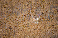 Whitetail Deer Images