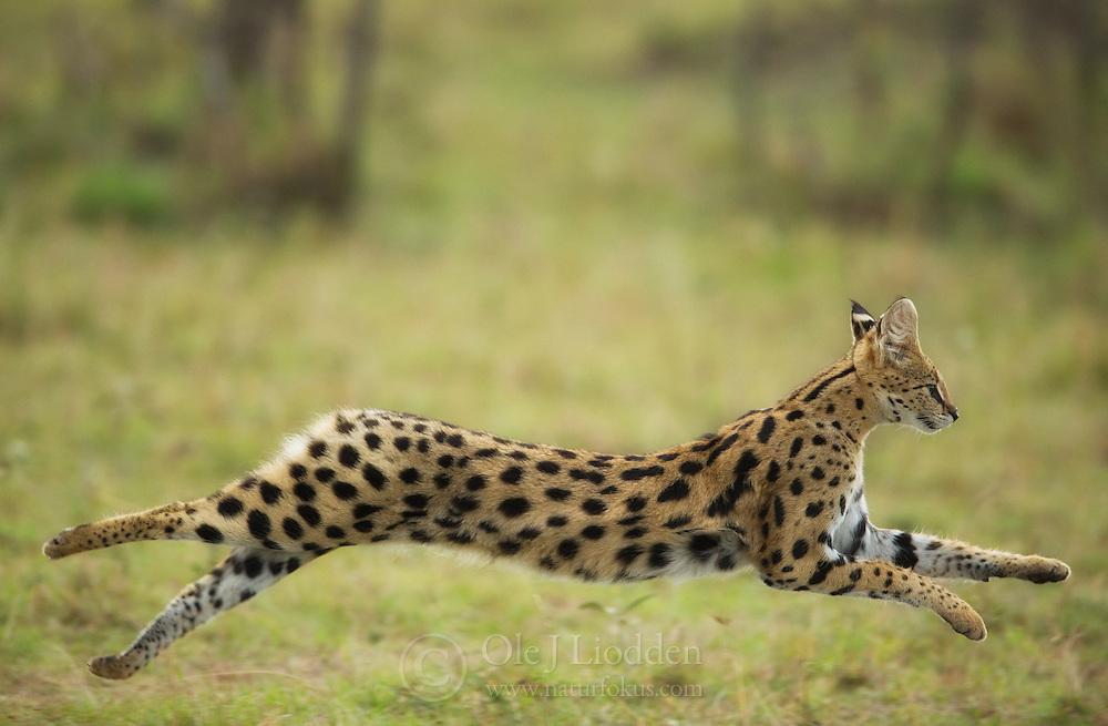 Serval (Caracal serval) running, Masai Mara, Kenya