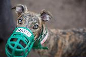 Greyhound Rescue Maximum Intake
