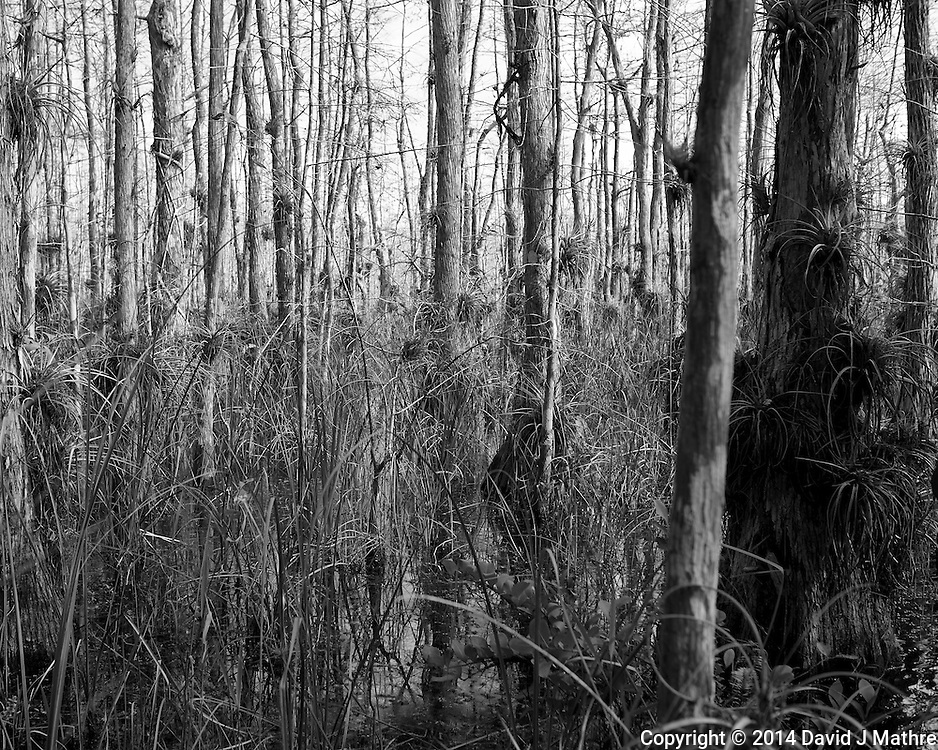 Swamp walk with Kristen and Angela in the Everglades behind  Clyde Butcher's Big Cyprus Gallery. Image taken with a Leica X2 camera (ISO 100, 24 mm, f/4.5, 1/160 sec).
