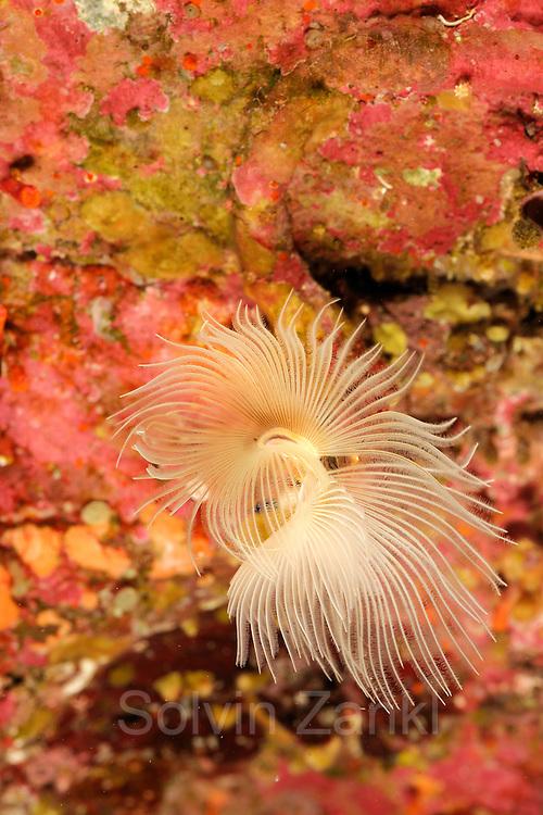 Tube worm (Protula tubularia) | Weißer Kalkröhrenwurm (Protula tubularia)