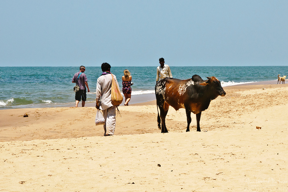 Cows and bulls are common sights on Anjuna Beach in Goa, India.