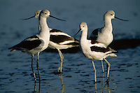 A group of four American avocets (Recurvirostra americana).