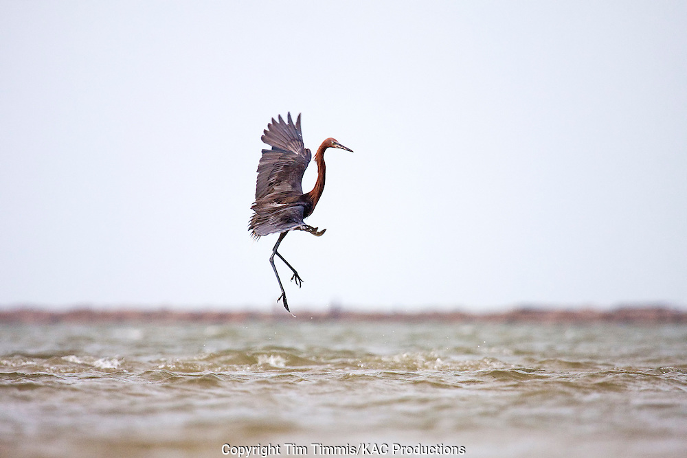 Reddish Egret, Egretta rufescens, Bolivar Flats, Texas gulf coast, jumping while fishing