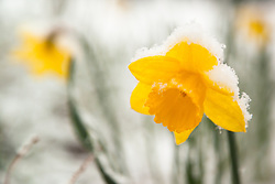 """Snowy Daffodil 1"" - This snow covered Daffodile or Narcissus flower was photographed in Truckee, California in the spring."