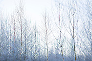 Winter in the forest.<br /> Picture date: Saturday January 17, 2015.<br /> Photograph by Christopher Ison &copy;<br /> 07544044177<br /> chris@christopherison.com<br /> www.christopherison.com