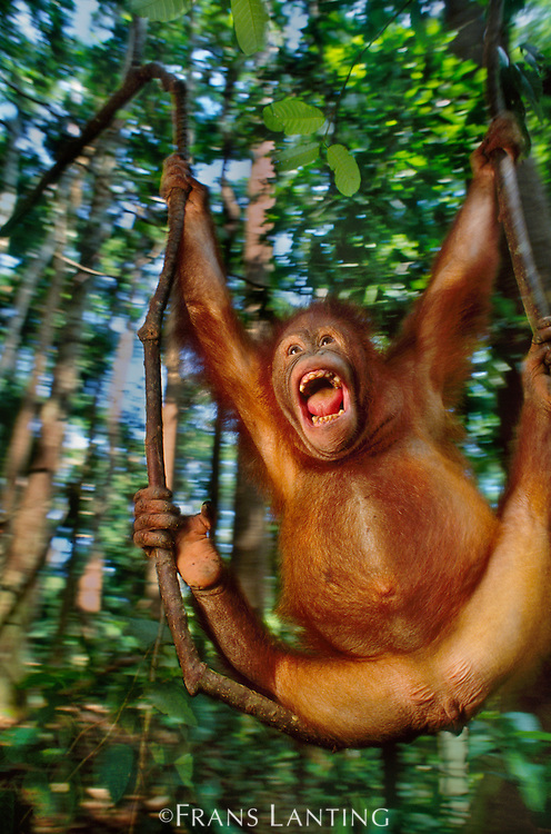Orangutan dangling from vine, Pongo pygmaeus, Sepilok Reserve, Sabah, Borneo