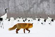 A lone red fox stalking red crowned cranes, Hokkaido, Japan.