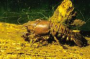 Virile Crayfish, Underwater