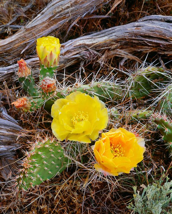0303-1077 ~ Copyright: George H.H. Huey ~ Pricklypear cactus [Opuntia erinacea] in bloom in pinyon-juniper woodland.  Island In The Sky.  Canyonlands National Park, Utah.