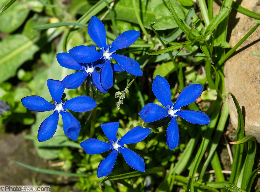 A spring gentian (Gentiana verna, in the family Gentianaceae) blooms with a deep blue five-lobed corolla (set of petals) with white center, on Meglisalp near Bötzel pass in the Alpstein limestone range, Appenzell Alps, Switzerland, Europe.