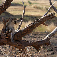 A vervet monkey looks across the vast plain.