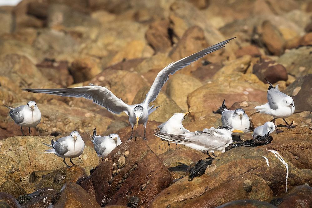 Thalasseus bergii, near Cape Town SA, September 2015