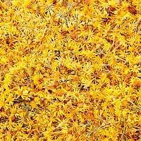 Yellow Ragwort Flower Heads Closeup, Irish Flower  County Kerry Ireland / fa017