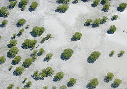 Mangroves create striking patterns in the mud at low tide on the shores of Roebuck Bay