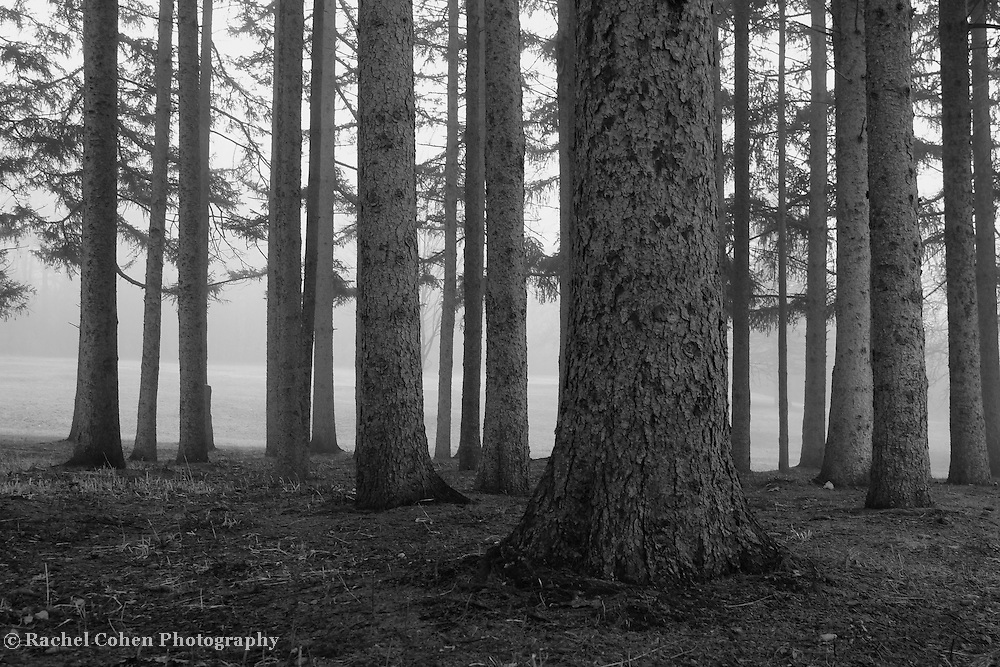 &quot;Fog Within the Pines&quot; B&amp;W<br /> <br /> Beautiful fog covered landscape! Fog enveloped trees in black and white!<br /> <br /> All about Fog by Rachel Cohen