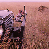 Africa, Kenya, Masai Mara Game Reserve, Adult Male Lion (Panthera leo) walks past safari truck in tall grass at dusk