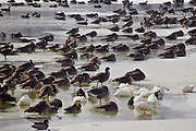 Photograph by Leandra Lewis of ducks and geese huddled on snow and  ice covered lake.