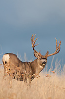 trophy mule deer buck open country on ridge