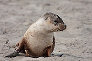 Australian Sea Lion pup on the beach at Kangaroo Island