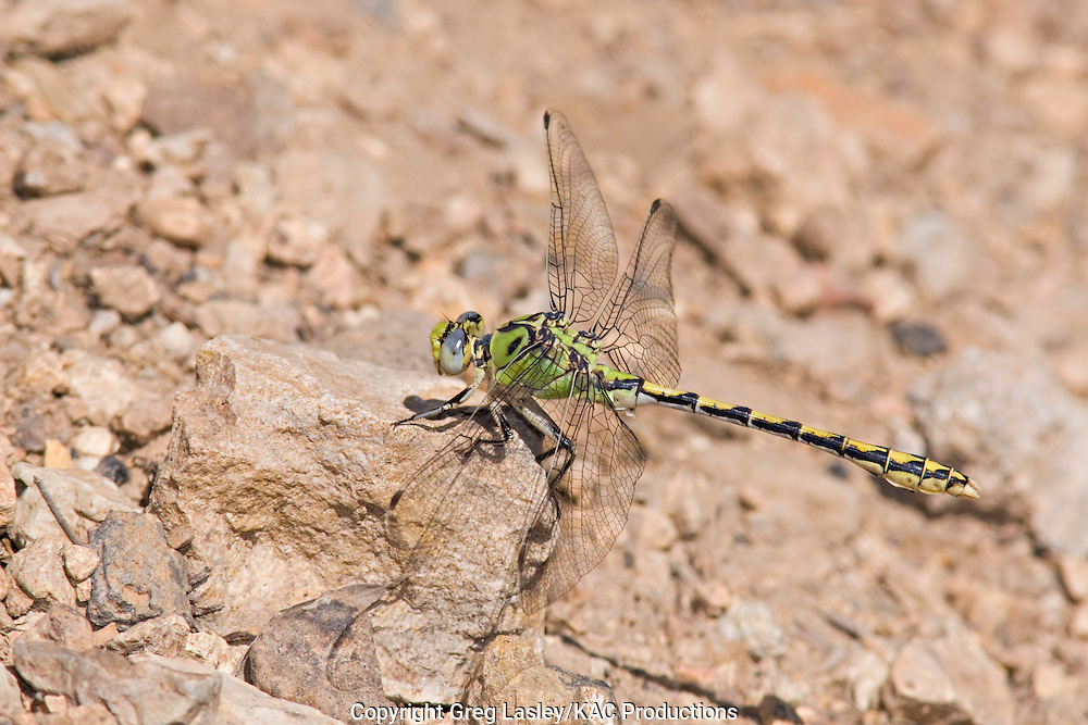 Pale Snaketail.Ophiogomphus severus.female.Canyon Meadow Lake,.Malheur National Forest,.Grant Co., Oregon.30 July 2008 dragonfly