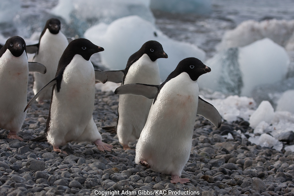 Adelie penguin, Antarctica, Pygoscelis adeliae, walking along shoreline, Brown Bluff.