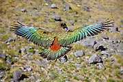 The rarely seen rainbow coat of primary and secondary feathers from an outstretched and wild kea parrot.  When the wings are tucked back in, the kea appears dull olive in color.  Fiordland National Park, New Zealand