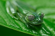 Frogs of Panama