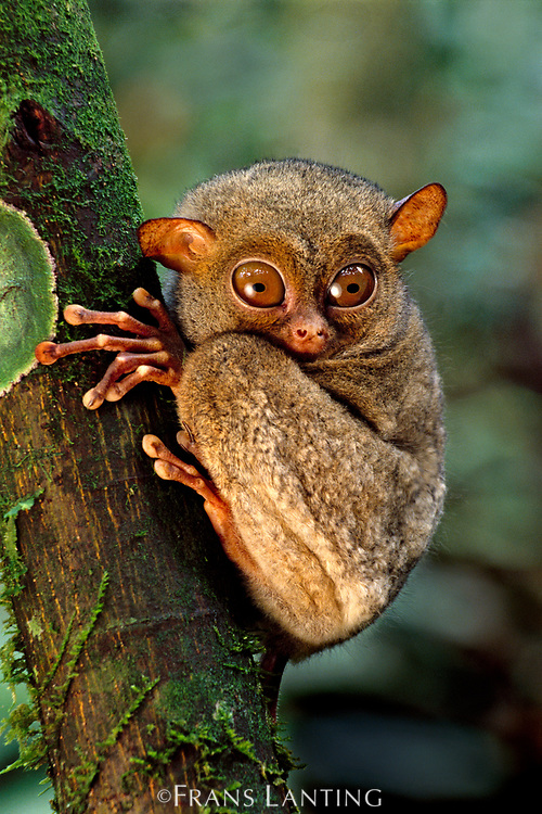Western tarsier, Tarsius bancanus, Sabah, Borneo