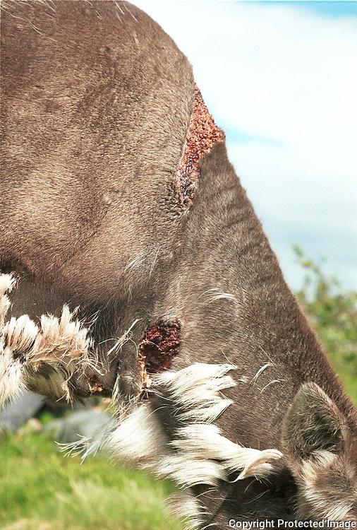 Reinsdyr med rovdyrskade, sannsynligvis angrepet av jerv. Knerten rovdyrskade, Høkla