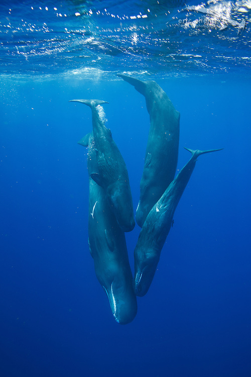 A social group of four sperm whales (Physeter macrocephalus). Dominica.