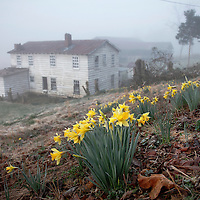 Spring daffodils emerged from a hillside overlooking bottom land where an abandoned boarding house stills stands with an old saw mill in Wild Cat, Ky., on 3/19/10. Photos by David Stephenson