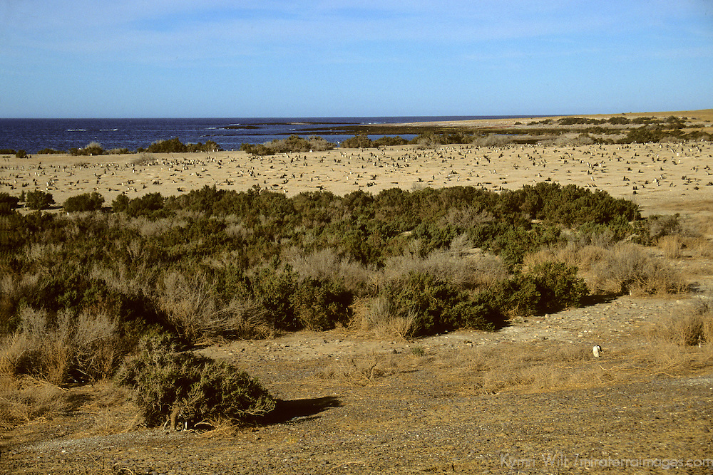 South America, Argentina, Punta Tombo. Magellenic Penguins nesting grounds.